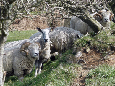 Exmoor Horn and Bluefaced Leicester rams at West Ilkerton Farm