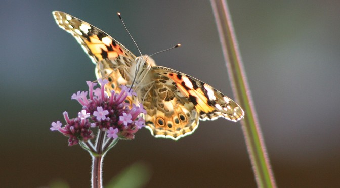 The Butterfly effect: creating a butterfly-friendly garden