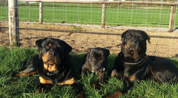 'Staffies' and 'rotties':  docile or dangerous?