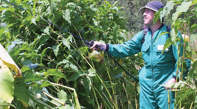 EXMOOR KNOTWEED CONTROL PROJECT SEEKS HELP FROM LANDOWNERS