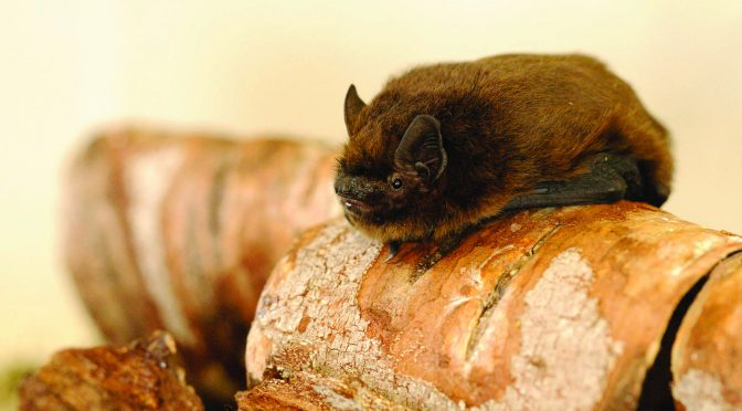 SOMERSET WILDLIFE TRUST LAUNCHES 'SAVING SOMERSET'S BATS' APPEAL